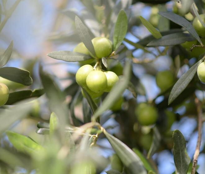 albero_olive_nocellara_del_belice