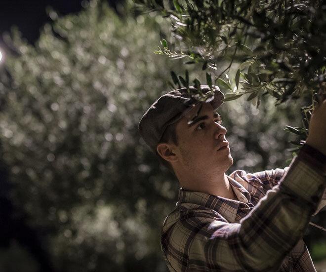 raccolta_olive_a_mano_di_notte-min