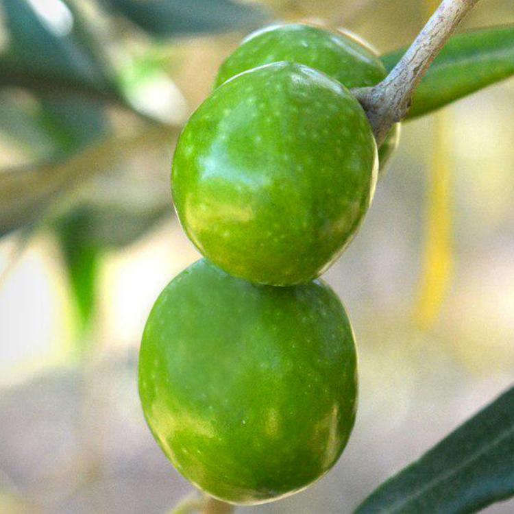 Органическое оливковое масло первого отжима сицилийского центонзе Nocellara del Belice, ЗГУ